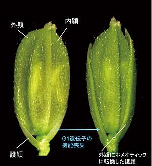 特定研 -植物メリステム-